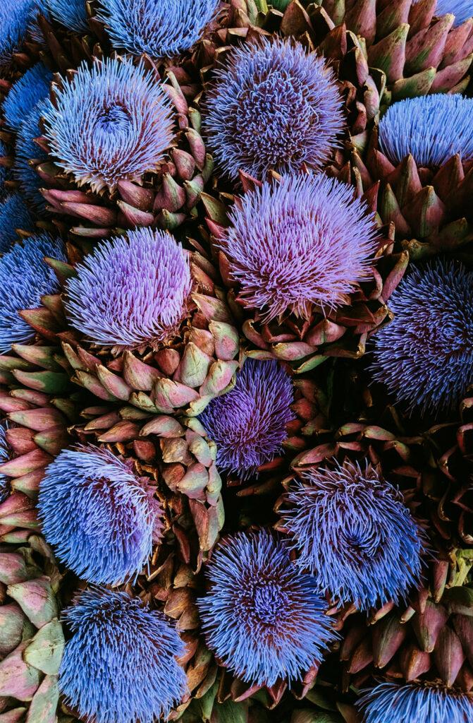 Purple Artichoke Flowers